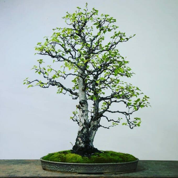 Birke Bonsai