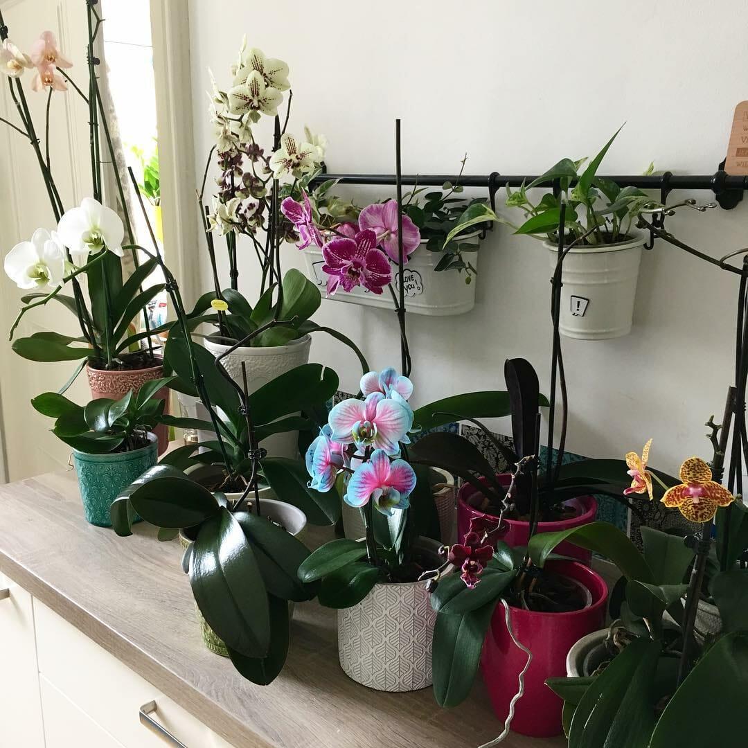 Orchidee richtig gießen