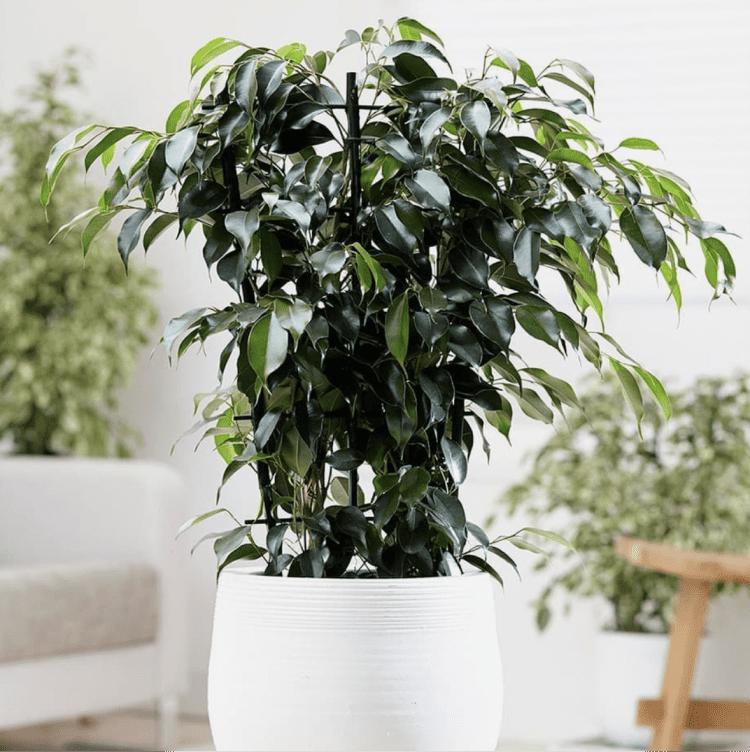 Ficus verliert blätter