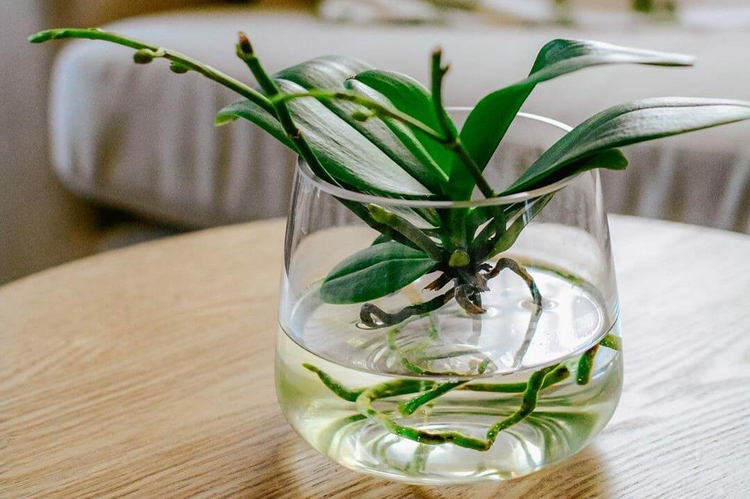 Orchidee im Glas ohne Erde