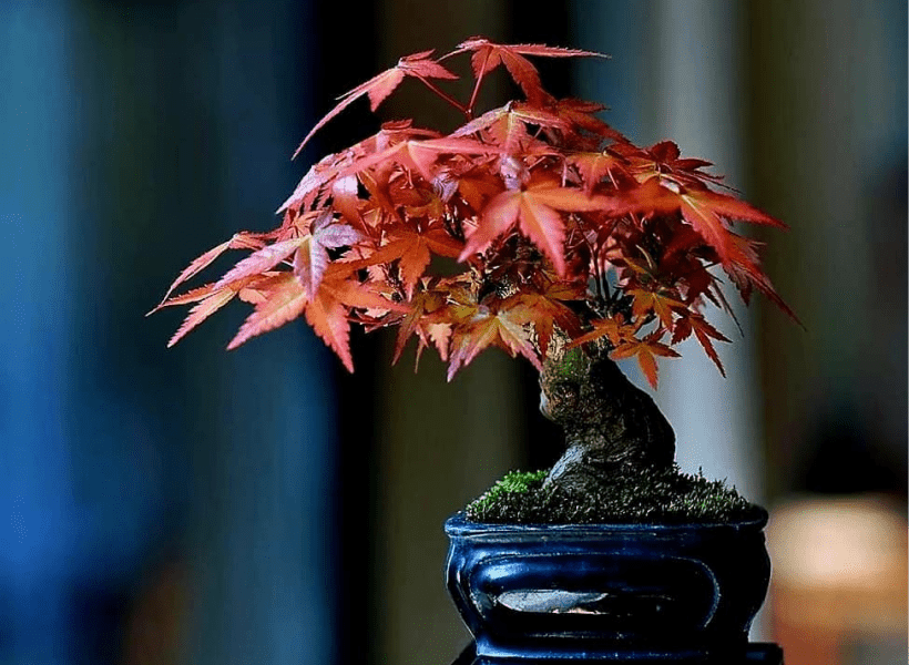 fächerahorn bonsai