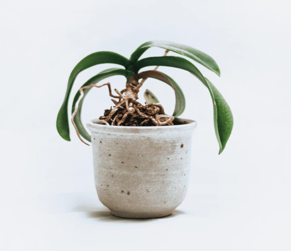 orchidee bekommt gelbe blätter