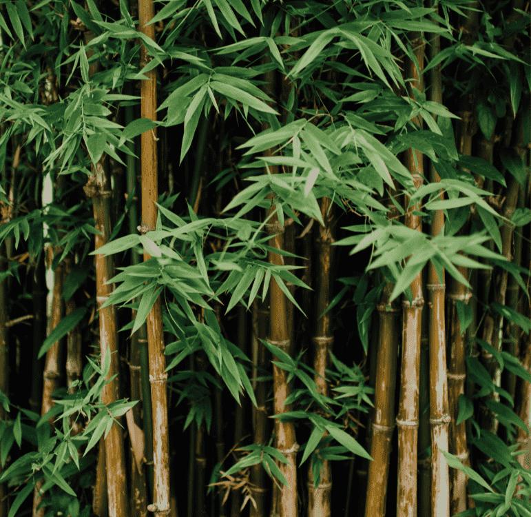 Bambus wachstum pro tag